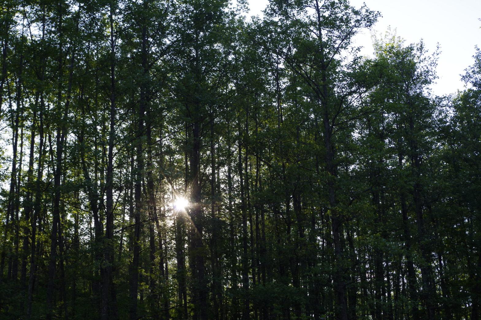 Dicht stehende Bäume, dazwischen blitzt die Sonne durch